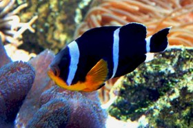 Amphiprion-chrysogaster