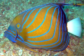 Blue ringed angelfish