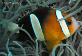 amphiprion-clarkii